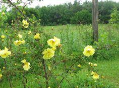 My Plants - Commonweeder   Harrison's Yellow
