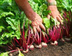 Столовая свёкла – довольно распространенная овощная культура на наших грядках. Но все чаще огородники жалуются на селекционеров, заявляя, что сорта свёклы потеряли свои качества. Корнеплоды стали дер…