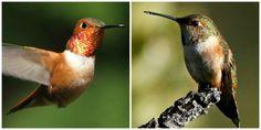 Bird of the Week: The Rufous Hummingbird. http://pacificnorthwestbirds.com