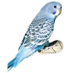 Icey. Blue Parakeet - PetSmart. Green one will be named Pickle
