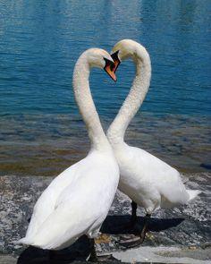 Swans - Swan heart to wish you wonderful dreams!