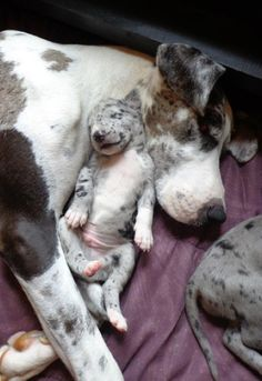 Breeding at the right time would result in a better litter.Great Dane dogs have medium to large litters.Average litter size for Great Dane is about 8 puppies whereas bigger and smaller both litters are also expected. Cute Puppies, Cute Dogs, Dogs And Puppies, Cute Babies, Doggies, Love My Dog, Cute Baby Animals, Funny Animals, Wild Animals