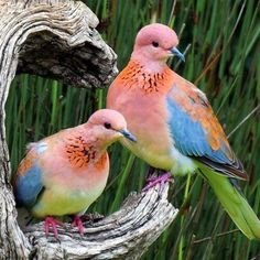 Rooiborsduifies / Laughing doves The Laughing Dove is a small pigeon that is a resident breeder in Sub-Saharan Africa, the Middle East east to the Indian Subcontinent. Kinds Of Birds, All Birds, Love Birds, Pretty Birds, Beautiful Birds, Animals Beautiful, Exotic Birds, Colorful Birds, Pigeon
