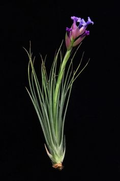 Plant Oddities-Tillandsia seideliana  and yet another addition to my obsession collection!