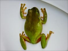 Frosch im Klo...