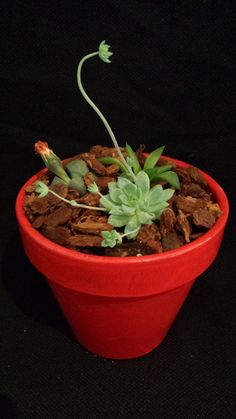 Living cacti and succulent garden in a red terra by UrbanSucculent, $50.00