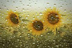 Sonnenblumen… by Christine Ellger