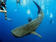 yes the whale shark are also in belize there gentle giants are amazing