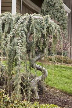 Weeping Blue Atlas Cedar has a dramatic, weeping habit with a sprawling horizontal form; often trained into upright, serpentine form. Slow, spreading up to 20 ft. wide. Zone: 6 – 9  Use: Specimen, groundcover, container.