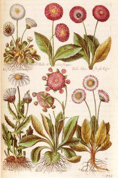 Botanical drawings Forms of the daisy, from the Florilegium renovatum et auctum, issued by Matthaeus Merian for the house of de Bry. Vintage Prints, Vintage Botanical Prints, Botanical Drawings, Illustration Botanique, Illustration Blume, Nature Illustration, Botanical Flowers, Botanical Art, Botanical Gardens
