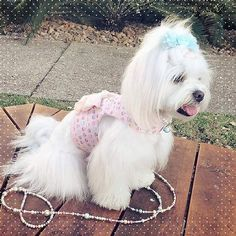 This little girl is wearing our Glass Pearl Leash that went to Australia. She also has the Rose Leash. by blueiguanadesigns Opossum, Dog Leash, Small Dogs, Pet Supplies, Little Girls, Australia, Pearls, Rose, Glass
