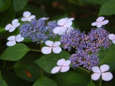 'Bluebird'  opens with beautiful, blue lacecap flowers in zones 5 to 9. Grow it in a large container or in a woodland garden or border. In autumn, the foliage turns a handsome reddish color.