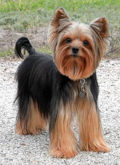 grooming a yorkie puppy - Google Search