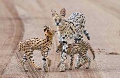 Serval family