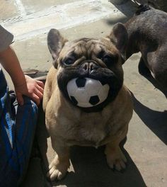 French Bulldog and a Soccer Ball, Love this!!