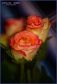 ...two beauty of roses...