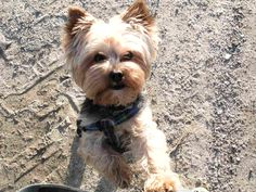 """#vetinSheerness The Yorkie is alert, trainable, and insatiably curious, making him a quintessential """"big dog in a little dog's body."""