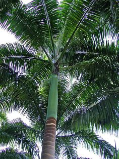 Royal Palm Tree | Royal palm tree | Flickr - Photo Sharing! Palm Tree Flowers, Palm Trees Beach, House Landscape, Landscape Design, Garden Design, Tropical Backyard, Tropical Plants, Trees To Plant, Santa Cruz