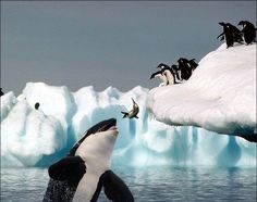 Killer Whale,  Wish killer whales ate sardines!