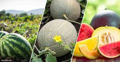 Growing your own scrumptious, nutritious melons is easy, plus you can guarantee your own home-grown, organic melons won't contain pesticides. https://articles.mercola.com/sites/articles/archive/2017/10/13/growing-melons.aspx?utm_source=dnl&utm_medium=email&utm_content=art2&utm_campaign=20171013Z1&et_cid=DM161543&et_rid=83435716