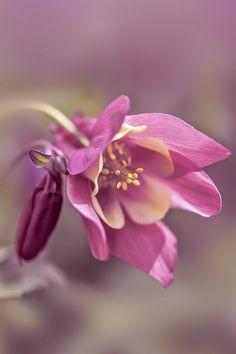 Aquilegia vulgaris | Pink Columbine by mikroman6