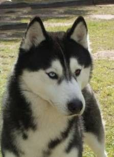 Siberian Huskys (this is Kodi's Dad)