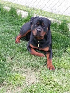 Discover The Confident Rottweiler Puppies Health Dog Training Methods, Basic Dog Training, Dog Training Techniques, Training Dogs, Puppy Obedience Training, Positive Dog Training, Easiest Dogs To Train, Rottweiler Puppies, Chihuahua Dogs