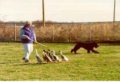 Bouvier des Flandres herding ducks.