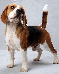 Mason the Beagle at the Westminster Dog Show. (Photo: Fred R. Conrad/The New York Times)