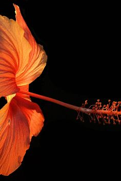Free download of this photo: https://www.pexels.com/photo/orange-hibiscus-flower-on-black-background-66239/ #flower #color #colour
