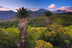 Aloes at the feet of the snow covered swartberg mountain range in the karoo near calitzdorp and the cango caves