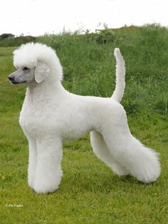 poodls:  Poodle Showcuts:Scandinavian Second Puppy, German/Toilette Moderne, Continental, English Saddle, Corded Continental More poodly cuts and colors here