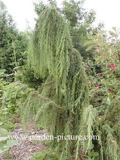 Juniperus communis 'Horstmann'. De hoogte na 10 jaar is 250 cm