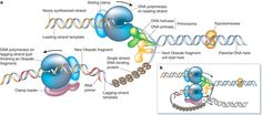 In depth look at DNA replication