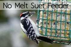 Homemade suet recipe: Downy woodpecker at suet feeder Bird Suet, Bird Feeders, Homemade Suet Recipe, Suet Cakes, Downy Woodpecker, How To Attract Birds, Bird Food, Backyard Birds, How To Make Homemade
