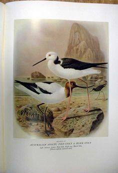 Avocet & Stilt Buller's Birds Of New Zealand