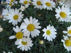daisies-2.jpg 3,072×2,304 pixels