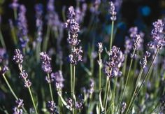 #NativePlantProject #BLM #NativePlants Ferguson Relax with lavender by placing sachets of dried flowers in your linen closets.