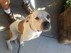Found a bit pull male not neutered. Dog ran out of a back yard at 5th and Pearl in Commerce City over the weekend. If you know anything about who may be the rightful owner of this dog please call Mark at 303 957 6724. It did have a microchip but it wasn't registered!