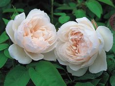 The Generous Gardener Climbing - David Austin Roses. Charming blooms of the softest pink. Glorious scent of old rose, musk and myrrh. Roses David Austin, David Austin Rosen, David Austin Climbing Roses, Beautiful Roses, Beautiful Gardens, Rose Meilland, Parfum Rose, Oriental Lily, Royal Garden
