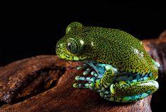 The Big Eyed Tree Frog