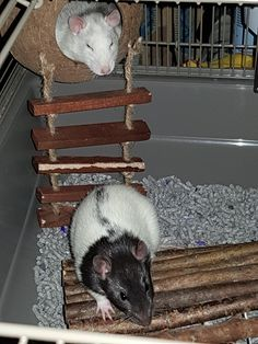 After over 8 years of having no pet rats I finally got myself two again. Meet Finn and Jake. Cute Small Animals, Animal Articles, Fancy Rat, Cute Rats, Gerbil, Fluffy Animals, Rodents, Chinchilla, Ratatouille