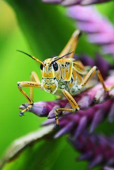 Grasshopperbyrockrage24