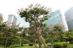 The flower fields in Hama-Rikyu Gardens aren't the only place to see beautiful blossoms! Walking around the gardens, you'll also see blossoming trees interspersed among the pines and evergreens, like these  blossoming crape myrtle trees.