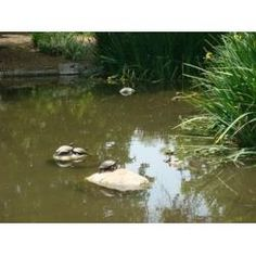 Building aquick and easyred eared slider pond to house your pet in their natural environment can be a fun and rewarding experience. Red Ear Turtle, Turtle Care, Red Eared Slider, Water Garden, Pet Shop, Sliders, Habitats, Wildlife, Environment