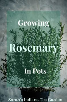 Growing Rosemary in Pots Is there anything better than smelling fresh rosemary, and using it in your Rosemary Plant, Rosemary Growing, Growing Herbs, Growing Vegetables, Grow Rosemary Indoors, How To Grow Rosemary, Gardening For Beginners, Gardening Tips, Garden Soil