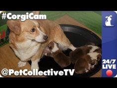 Live stream corgi puppies!