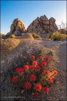 Indian Paintbrush wildflowers blooming at Jumbo Rocks area, Joshua Tree National Park, California. | Flickr - Photo Sharing!