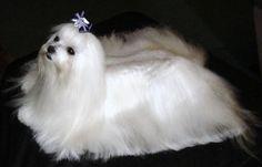 Maltese Puppies | Maltese Breeders