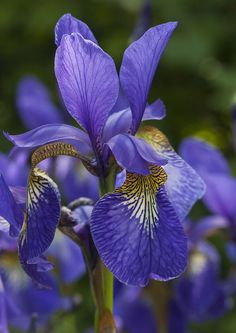 """Purple Iris - They've grown all along my mom's front porch for the entire 57 years she's lived there... she would cut some for me, wrap a wet paper napkin around the bottom of the stems,  cover the wet napkin with """"tin foil"""" and off I'd go to proudly present them to my beloved 2nd grade teacher!"""